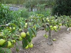 Acres: Espalier Fig or Stepover?I've been attempting to espalier a Celeste fig against the corner of my shed since last summer. Espalier Fruit Trees, Fruit Tree Garden, Garden Trees, Edible Garden, Vegetable Garden, Permaculture, Home Grown Vegetables, Garden Nursery, Beautiful Fruits