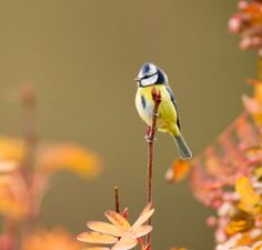 Blue tit with an autumnal background