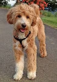 Joey the Labradoodle -- Dog Breed: Labrador Retriever / Poodle Goldendoodle Haircuts, Goldendoodle Grooming, Dog Haircuts, Standard Goldendoodle, Labradoodles, Goldendoodles, Cavapoo, Maltipoo, Dog Cat