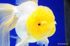 White Oranda 6.5 inches » DandyOrandas.com