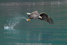 Alaska Eagle V by Ross Konigsburg on 500px
