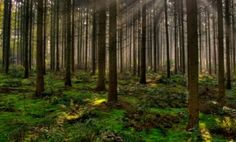 Proyecto de Reforestación - Árboles adultos