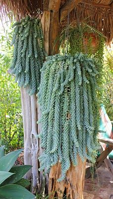Love these Donkey tail succulents