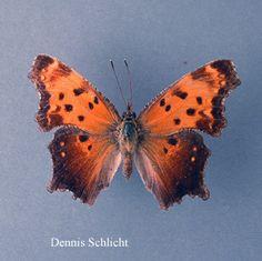 Polygonia progne (Dennis Schlicht)