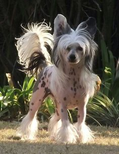 Chinese crested - we're getting one! Probably the spring after baby 2 turns 1! Need to start looking for a breeder