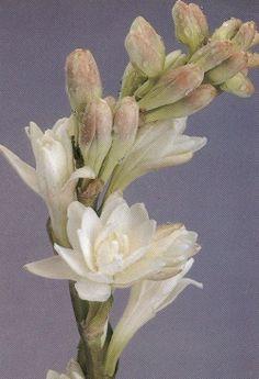 """El epítome de las flores blancas caracterizadas por su virtud narcótica quizás sea la tuberosa (nardo, vara de San José). Algunos especialistas discuten la etimología de su nombre científicos: Polianthes tuberosa; el término tuberosa es una referencia al sistema de raíces, polianthes se ha venido traduciendo desde el griego como """"dar muchas flores"""" o como """"flores blancas"""" mientras que Benthen y Hooker interpretan el término polios desde el latín como pulido, lustroso en referencia al aspecto…"""