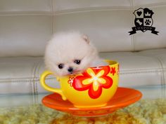 Pomeranian -I can't believe how tiny this puppy is , so so cute✨✨