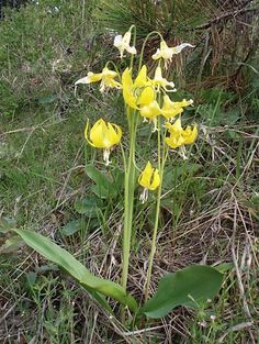 Yellow glacier-lily Snow-lily Erythronium grandiflorum bulbs are edible raw. bulbs are best after long slow cooking, which turns them chocol...