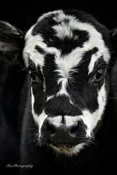 Marble Cow