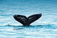 Clipper Vacations - Gray Whale Watching from Seattle with Stop on Whidbey Island