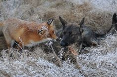Amazing photos of dog and wild fox playing in the woods » DogHeirs | Where Dogs Are Family « Keywords: fox, Belgian Malinois, sable shepherd, Norway