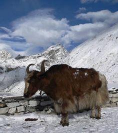 Un yak dans les montagnes tibétaines (Crédits : Mahatma4711 - Wikipédia)