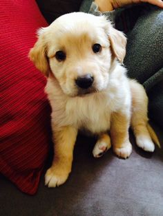 My perfect golden retriever puppy
