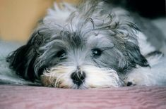 Havanese are generally healthy, but like all breeds, they're prone to certain health conditions. Not all Havanese will get any or all of these diseases, but it's important to be aware of them if you're considering this breed. Havanese Puppies, Cute Puppies, Dogs And Puppies, Cute Dogs, Doggies, Cavapoo, Teacup Puppies, Small Family Dogs, Best Small Dogs