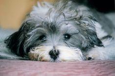 cuteness. havanese breed puppy