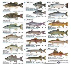 Best Freshwater Fish Aquarium Ideas : List Of Freshwater Aquarium Fish. List of freshwater aquarium fish. Trout Fishing, Kayak Fishing, Fishing Tackle, Bass Fishing Tips, Fish Chart, Fish Information, Freshwater Aquarium Fish, Kunst Poster, Types Of Fish