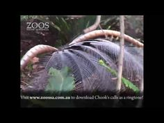 More about our Superb Lyrebird at Adelaide Zoo