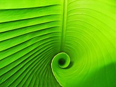 Interior of a banana leaf spiral.   #green