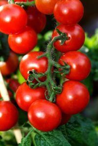 More good tomato growing tips