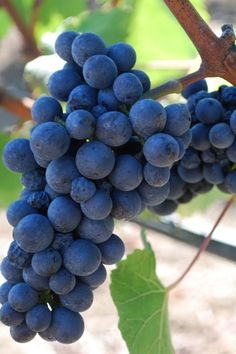 "Pinot Noir - ""With so voluptuous a perfume, so sweet an edge, they make the blood run hot,"" Joel Fleischman, #wine columnist at Vanity Fair, once described of Pinot Noir. http://www.snooth.com/varietal/pinot-noir/"