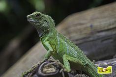 Dragon d'eau vert - Vivarium - Parc Zoologique de Thoiry