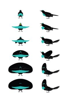 Superb Bird-of-paradise - Andrew Leach Projects