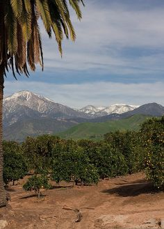 California orange grove on Flickr, photo by Farkled