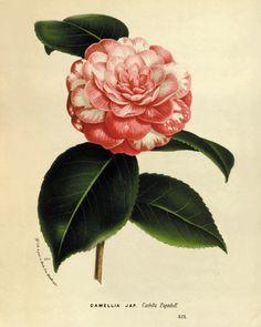 Camellia flower art print botanical art print by AntiqueWallArt