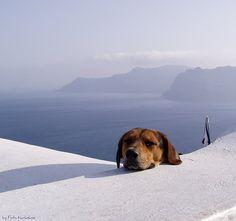 Dog in Santorini   Fotis Korkokios   Flickr