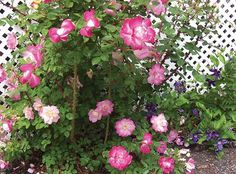 The Brite Eyes™ Rose | Star Roses & PlantsThis beautiful climber is black spot resistant! Another breakthrough rose from Will Radler, the breeder of The Knock Out® Rose. The amazing salmon color will add color and fragrance to your landscape. It will grow no taller than 8', making this rose a perfect addition for small gardens Flowers / Petal Count:  Medium, 7-10 petals Foliage:  Deep green Light Requirements:  Full Sun