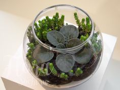 florarium | terrarium | design | garden | фиалка | флорариум
