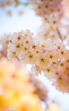 ↑↑TAP AND GET THE FREE APP! Nature Cherry Blossom Tree Pink Flower Tender Beautiful Spring Blurred HD iPhone 4 Wallpaper