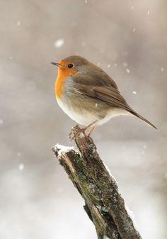 Petit rouge gorge sous la neige, un tableau de saison !