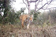 An adult tiger captured by a camera trap in Shuklaphanta Wildlife Reserve of western Nepal
