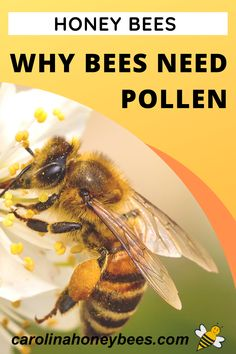 Honey bees collect nectar to make honey.  But, they do not use pollen to make honey.  Why do bees need pollen?  #carolinahoneybees #beepollen #honeybees