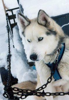Seberian husky - sled dog, named Kimo. Lead dog.