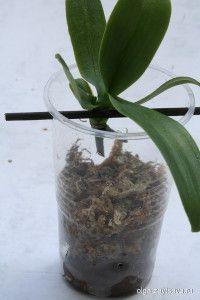 Как укоренить детку орхидеи
