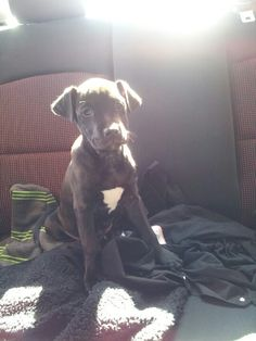 Beautiful Lab/Pit mix... identical to my little Sculpin!!