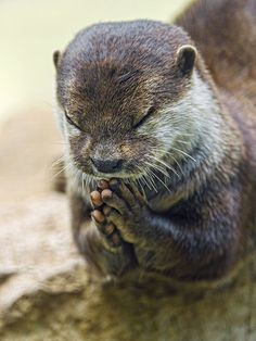"~~Praying otter II by Tambako The Jaguar~~ * * "" BLESS THIS DAY AND ALL WILDLIFE. DO NOT LET ANY OF THEM SUFFER NEEDLESSLY, ESPECIALLY AT THE HANDS, FEET, WEAPONS, MACHINES OR EVIL, OF MEN, WOMEN, OR CHILDREN."""