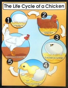 Life Cycle of a Chicken - RedMelon Educational Resources shopping Educational Activities For Kids, Sequencing Activities, Montessori Activities, Book Activities, April Preschool, Preschool Science, Preschool Classroom, Science For Kids, Life Cycles