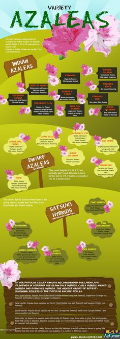 Variety of Azaleas- Azaleas, the major ornamental plants in Louisiana's residential and commercial landscapes, are available in many flower colors, growth habits and foliage characteristics. This #infograph coveries the various varieties for Louisiana gardens. Created with Piktochart