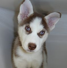 Fun Facts About The Siberian Husky