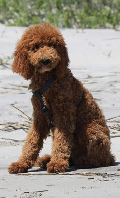 Sam at the beach! - Standard Poodle 4.5 months old.