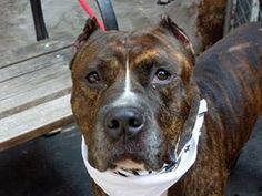 Manhattan Center  KRUSH - A0978019  MALE, BR BRINDLE / BLACK, PIT BULL MIX, 5 yrs He is a wonderful lap dog, a tender soul. Krush would make a great companion to the owner or family looking for a loving, well mannere and calmer although active dog . Krush is at the Manhattan Care Center, hoping to catch your eye and be the best friend you will ever have.