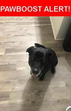 Is this your lost pet? Found in Jacksonville, NC 28540. Please spread the word so we can find the owner!  Found Female Elderly Black Lab around Maplehurst Drive in Jacksonville NC! Please contact me 706-371-0709 with any information on the owner. She is not microchiped.   Near Maplehurst Dr & Birch Ct