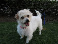 2 years old, White and Tan, Terrific Terrier mix. Life should have been a Breeze for such a cute and whimsical looking young lady but sadly it hasn't been easy. Breeze found herself in a shelter a ragged dirty mess. It looked like she hadn't been...