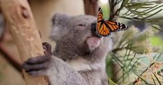 Il cucciolo di koala e il suo tenero incontro con una farfalla