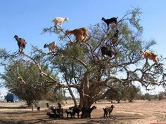 The Tamri Goat, a breed in Morocco masters the art of tree climbing. The goat learn the skill due to the scarcity of flora and food. The goats supposedly love to eat the berries of Argan trees. But those fruits are forbidden due to the height until goats learn how to climb the trees to access the fruit.
