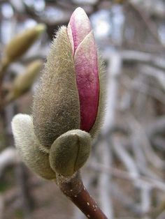The slow blossoming of a magnolia tree frames the novel, mirroring the spiritual awakening of Jae.