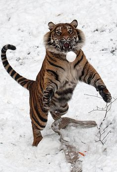 Tiger in a snowball fight. #winter #snow #animals (Dudley Zoological Gardens)